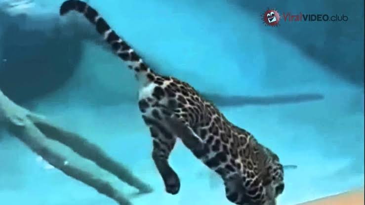 Jaguar pescando