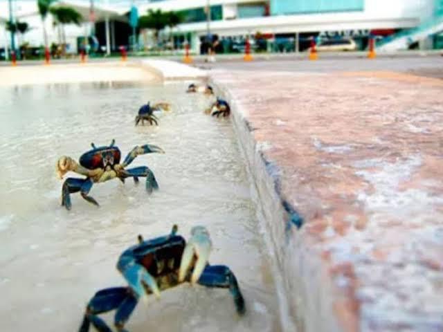 Cangrejos azules